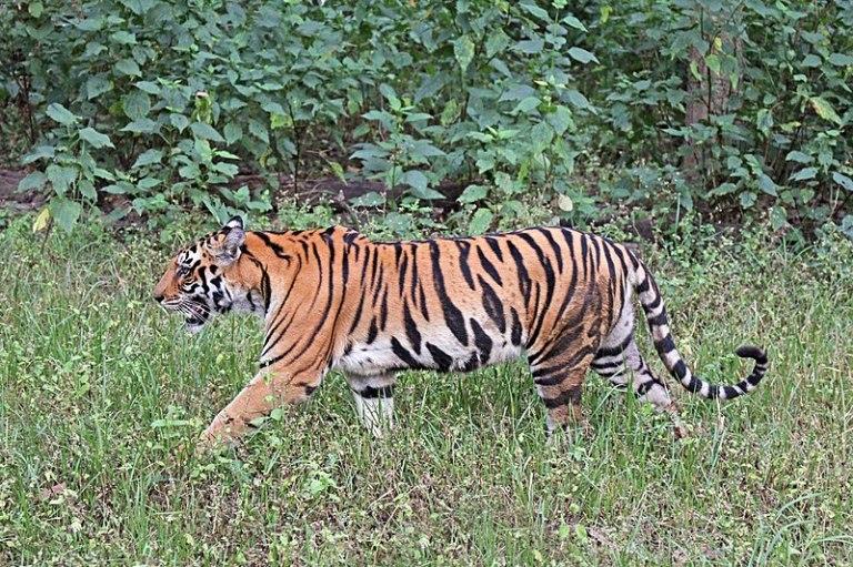 800px-Bengal_tiger_(Panthera_tigris_tigris)_female