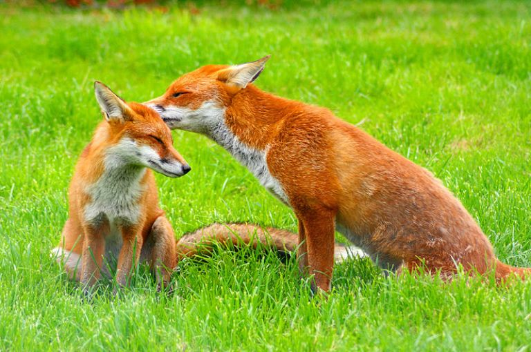 800px-Red_Fox_(Vulpes_vulpes)_-British_Wildlife_Centre-8